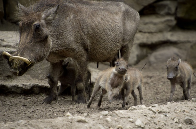Four baby warthogs walk next to their mother in their enclosure in Berlin. The cubs were born on April 22, 2013 and were unveiled to the public today. The Warthog is a wild member of the pig family that lives in grassland, savanna, and woodland in Sub-Saharan Africa. (Odd Andersen/AFP/Getty Images)