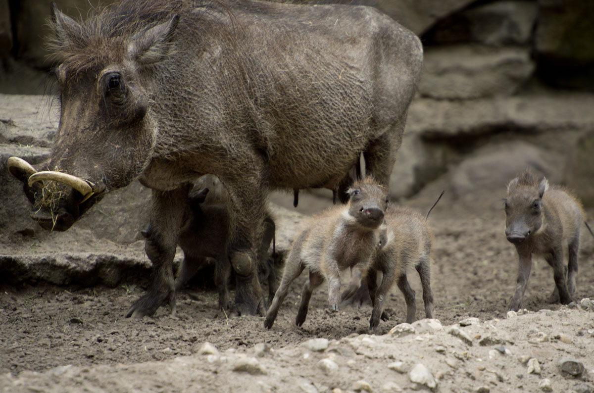 Four baby warthogs walk next to their mother