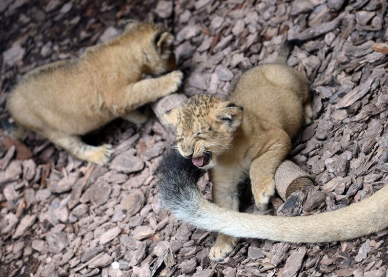 Two more than one month young baby Indian lions play at the Indian House of the Zoo and Botanic Garden in Budapest. The animals were born from mother Kankay on April 14, 2013. (Attila Kisbenedek/AFP/Getty Images)
