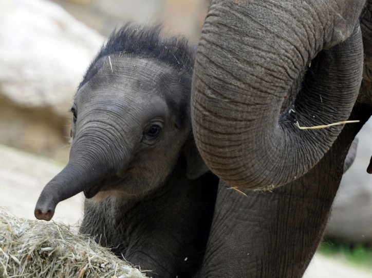 A 100-day-old baby elephant walks with its French mother Angele to celebrate his first 100 days at Budapest Zoo and Botanic Garden during a special birth-day ceremony. (Attila Kisbenedek/AFP/Getty Images)