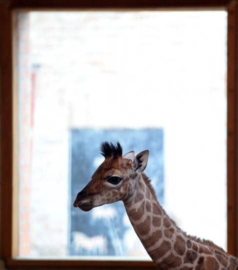 A one-week young baby giraffe is pictured at the 'Giraffe House' in the Zoo and Botanic Garden in Budapest. The new born animal was born by its six-year old mother Sandra on May 17, 2013. (Attila Kisbenedek/AFP/Getty Images)
