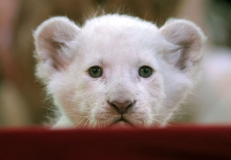 A white lion cub looks at the camera during a photo session at Circus Krone in Darmstadt,Germany. Circus Krone has introduced six baby lions, four white and two brown. They were born two weeks ago. (Fredrik von Erichsen/AFP/Getty Images)