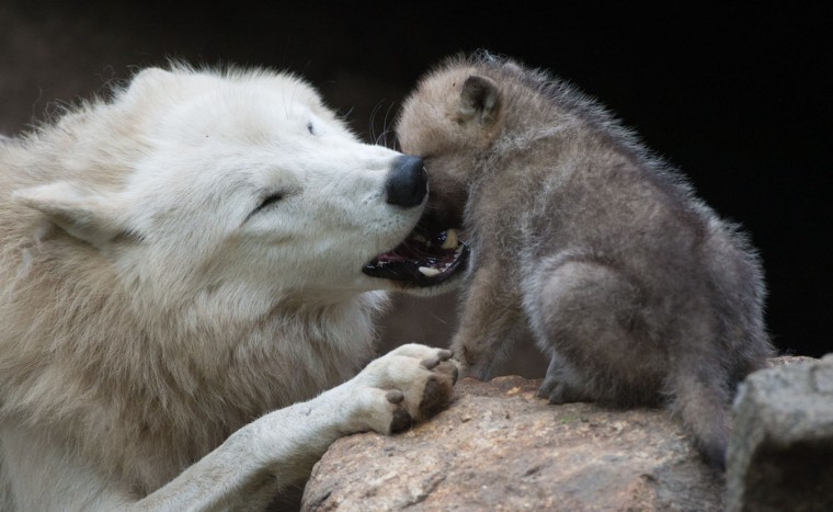 A wolf plays with a one-month-old puppy in its enclosure of Berlin's Zoo. (Johannes Eisele/AFP/Getty Images)