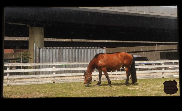 Porter, a draft horse, grazes outside the stalls. (Algerina Perna/Baltimore Sun)