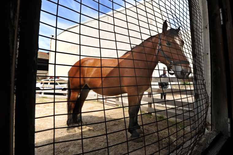 Porter, a draft horse, grazes outside the stalls. A number of horses are donated from area businesses and the local communities. In the background is Ofcr. Arturo Garvin. (Algerina Perna/Baltimore Sun)