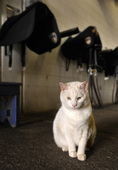 This furry friend is a fixture in the barn. (Algerina Perna/Baltimore Sun)