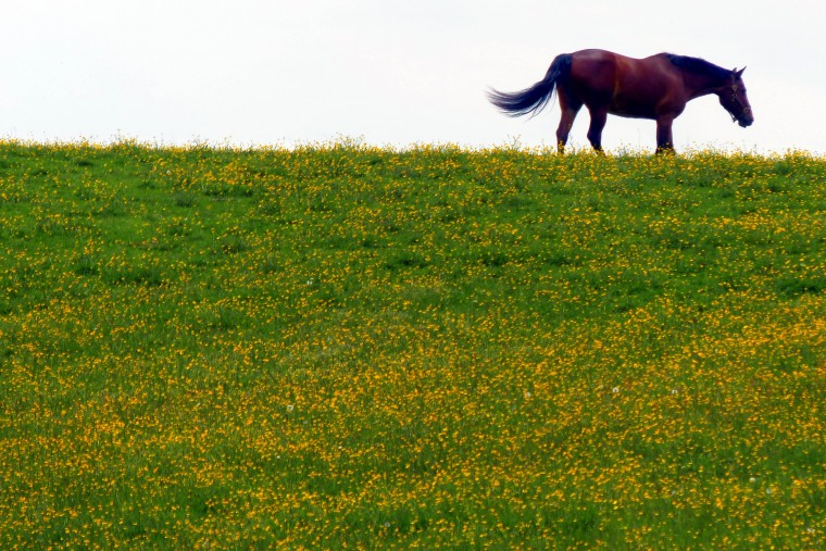 A horse grazes atop a hill filled with buttercups off Frederick Road at Oella Avenue. (Karl Merton Ferron/Baltimore Sun)