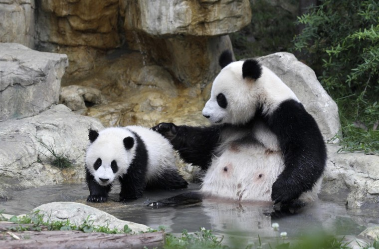 A giant panda cub (L) and its mother play by a pond as they take a bath at the Chengdu Research Base of Giant Panda Breeding in Chengdu, Sichuan provinc. (China Daily)