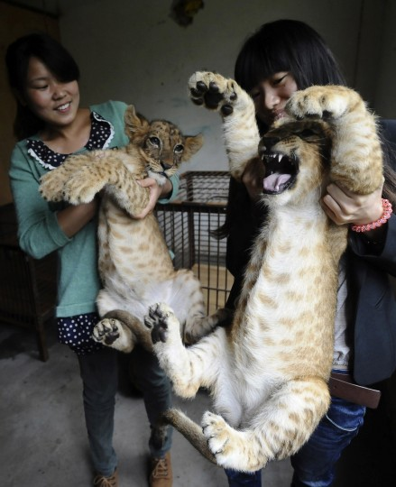 Staff hold lion cubs during a media event at a zoo in Wuhan, Hubei province. The zoo said tourists could visit the four-month-old cubs starting from International Children's Day on June 1, 2013. (Reuters)