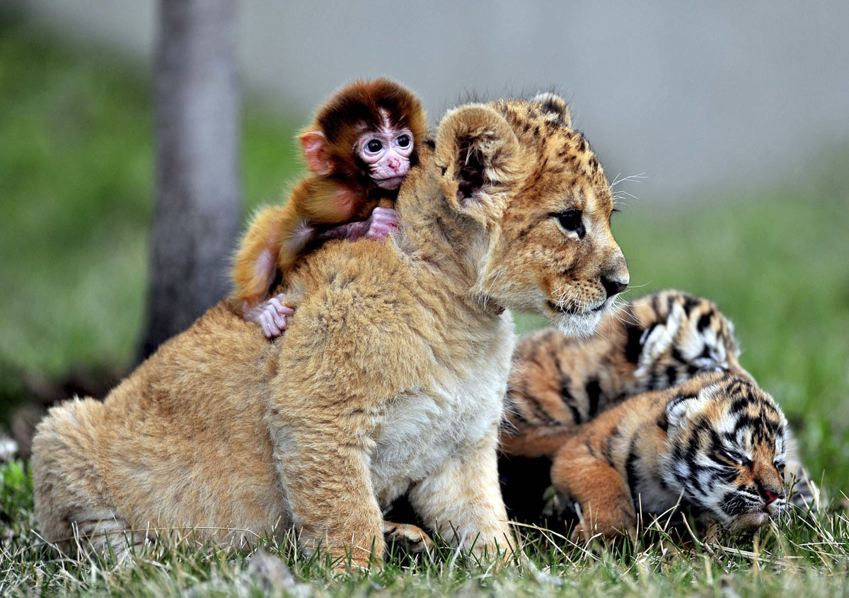 A baby monkey, a lion cub and tiger cubs play at the ...