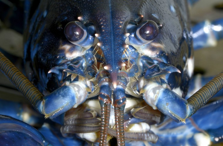 A European lobster (Hommarus gammarus) is pictured in a breeding station at the Alfred-Wegener institute (AWI) on the German island of Heligoland, about 46 kilometres away from the German coastline. Biologists at the Alfred-Wegener Institute for Polar and Marine Research are breeding 3,000 lobsters to be released next year into the Borkum Riffgat offshore wind farm near the island 70 km off the German-Dutch coast. (Fabian Bimmer/Reuters photo)