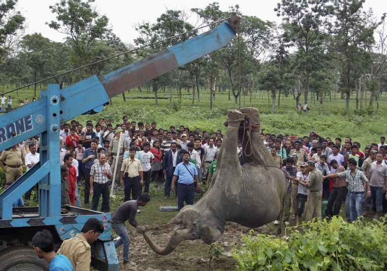 A crane removes the carcass of a female elephant near a railway track at Banarhat village, in the eastern Indian state of West Bengal. Two adult female elephants and one calf died on Thursday after they were hit by a passenger train while crossing a railway track, forest officials said. (stringer/Reuters photo)
