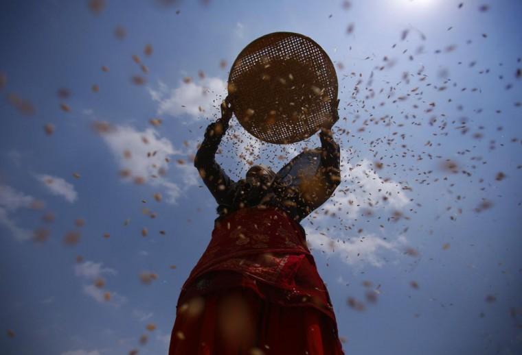 A farmer harvests wheat on a field in Kathmandu May 6, 2013. (Navesh Chitrakar/Reuters)