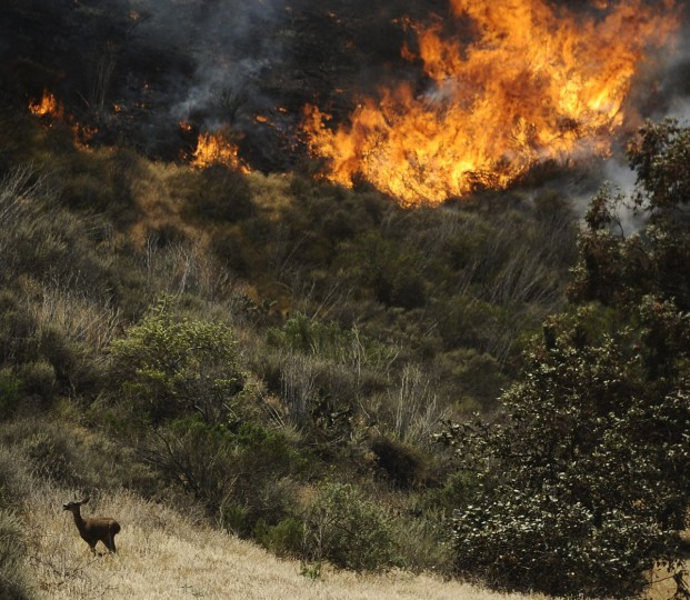 A deer runs away from flames as a raging wildfire pushes towards the coast in Camarillo May 2, 2013. (Gene Blevins/Reuters)