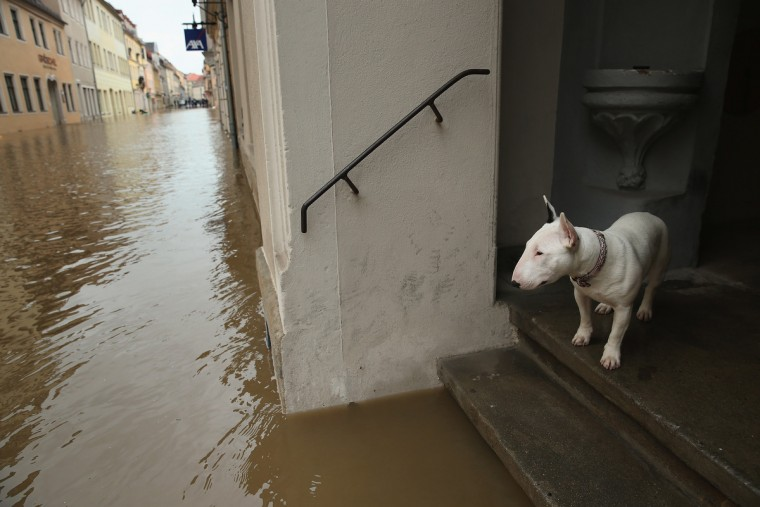 A dog looks out from a doorstep at a flooded street in the historic city center on June 4, 2013 in Pirna, Germany. Heavy rains have pounded southern and eastern Germany, causing wide-spread flooding and ruining crops. In eastern Germany floodwaters are moving north through the Mulde, Saale and Elbe rivers, forcing authorities to evacuate thousands of residents. (Sean Gallup/Getty Images)