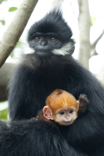 "This handout photo received by the Taronga Zoo shows a baby female Francois Leaf-monkey, called ""Nuoc"" or ""water"" in Vietnamese, which was born on March 3, 2013 at Sydney's Taronga Zoo and which had to be reared by keepers for 12 days after her birth when its mother ""Saigon"" did not produce enough milk. (Mandy Everett/Getty images)"