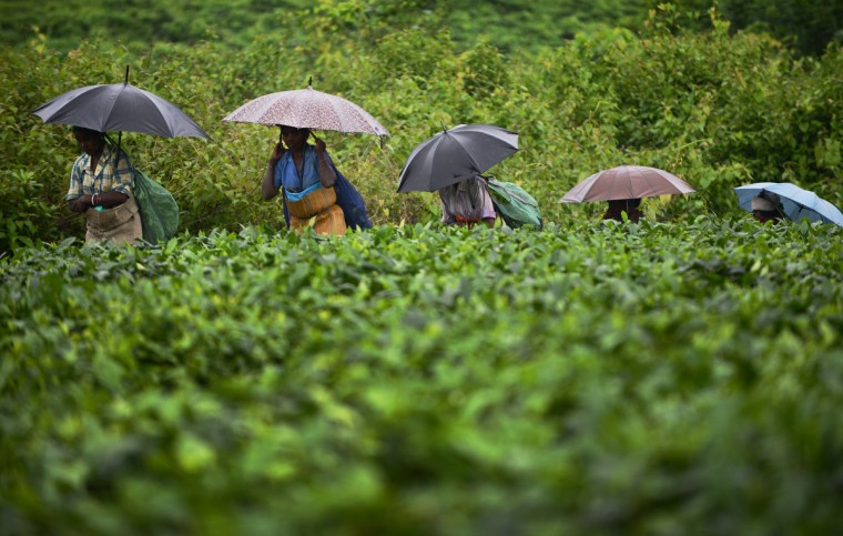 Indian women use umbrellas to shield themselves from rain as they walk next to a large field of tea shrubs at a tea garden near Binnaguri in the north eastern Indian state of Assam. Tea is indigenous to India which is the second largest producer in the world behind China. (Roberto Schmidt/Getty Images)