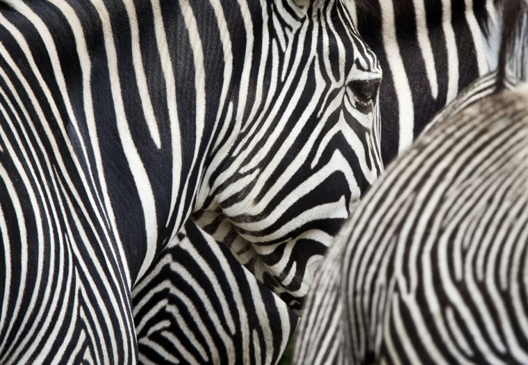 Zebras are pictured in the zoo in Frankfurt/Main western Germany. (Frank Rumpenhorst/Getty Images)