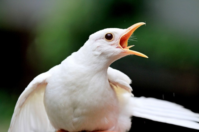 A rescued albino blackbird is pictured at the animal rescue station in Bartosovice, Moravia. There are maximum several dozens of albino blackbirds in Europe. In nature, most of them do not survive because others attack them. This first in Czech Republic albino blackbird is one month old and was found in a park. (Radek Mica/Getty Images)