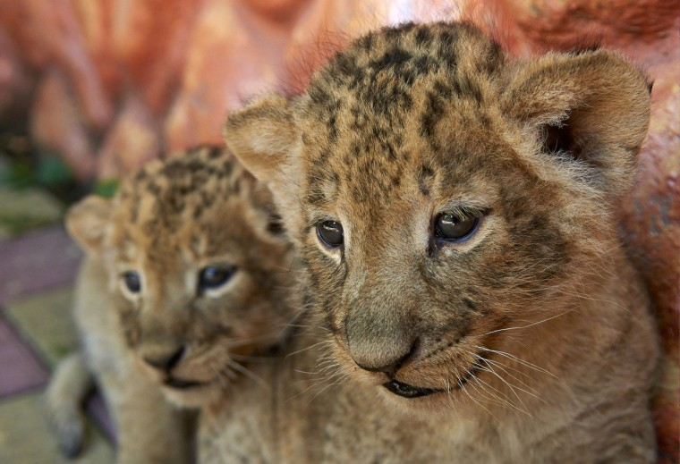 One month old lion cubs make their first public appearance at a zoo in the southern Russian city of Stavropol. (Danil Semyonov/Getty Images)