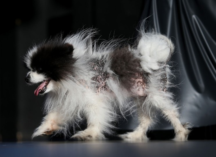 Mayzie Brown, a Pomeranian, walks on stage during the 25th annual World's Ugliest Dog contest in Petaluma, Calif. (Justin Sullivan/Getty Images)