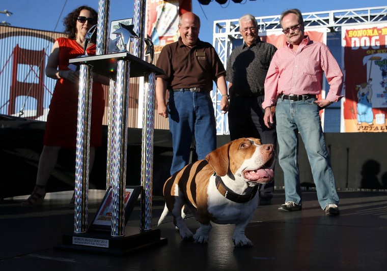 Walle, a basset beagle mix, walks on stage after being crowned the winner of the 25th annual World's Ugliest Dog contest on June 21, 2013 in Petaluma, California. (Justin Sullivan/Getty Images)