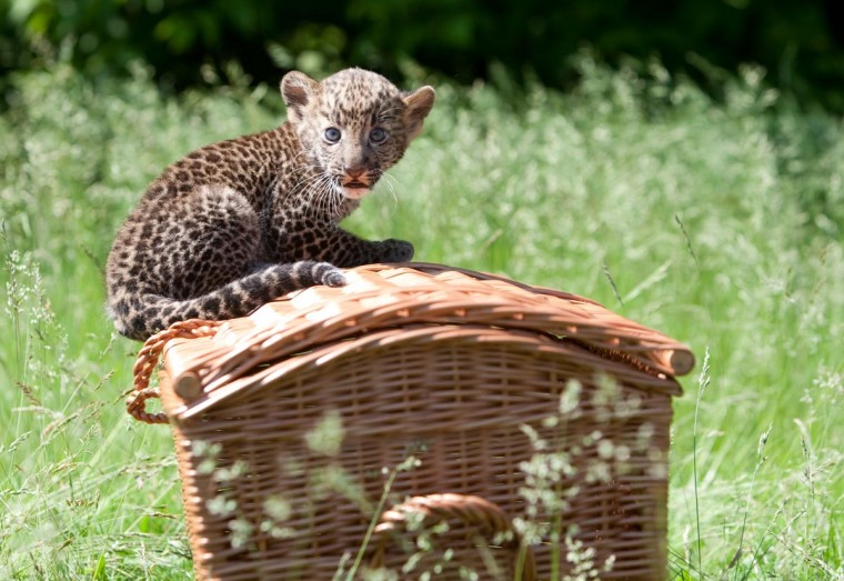 """A Javan leopard baby sits on a basket during its presentation to the press on June 7, 2013 at the Tierpark zoo in Berlin. The male animal was born on April 16, 2013 and was given the name """"Timang"""" by its keepers. (Joanna Scheffel/AFP/Getty Images)"""