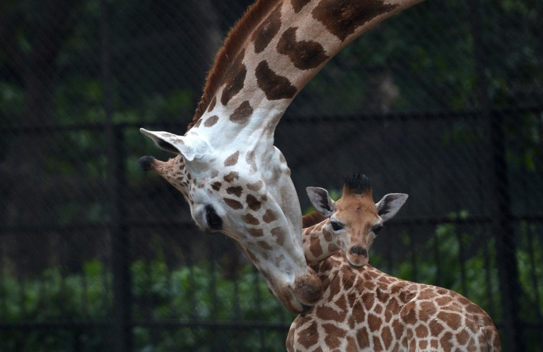 A mother giraffe licks her 20-day old baby giraffe calf and stays close to him at the Alipore Zoological Garden in Kolkata on June 10, 2013. With the birth of this newborn, the number of African giraffes has increased to nine and the garden authorities are taking special care of the newborn and his mother. (Dibyangshu Sarkar/AFP/Getty Images)