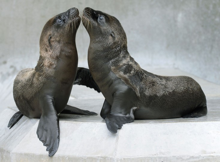 Young sea lions play in their enclosure at the zoo in Munich, southern Germany. Four young sea lions were born in the months of May and June 2013 at the zoo in Munich which now counts15 sea lions. The pups weigh approximately 4kg and are 45 centimeters tall as they are fed four times a day. (Christof Stache/AFP/Getty Images)