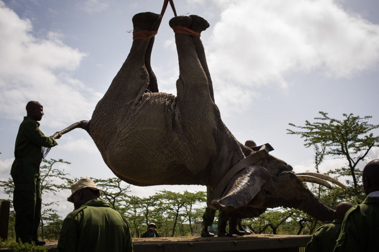 "A male elephant is lowered onto a truck by the Kenyan Wildlife Service after being sedated on the edge of the Ol Pejeta conservancy in central Kenya. Nine ""rogue"" elephants that have been destroying crops in the area will be translocated from the conservancy to the larger Kora National Reserve in order to ease the human-wildlife conflict over land. (Phil Moore/AFP/Getty Images)"