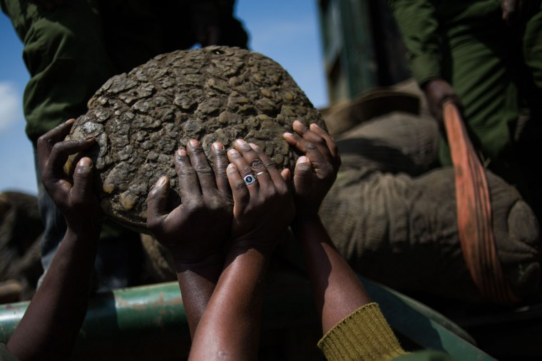 "Kenyan Wildlife Service officers load a sedated male elephant onto a container on the edge of the Ol Pejeta conservancy in central Kenya. Nine ""rogue"" elephants that have been destroying crops in the area will be translocated from the conservancy to the larger Kora National Reserve in order to ease the human-wildlife conflict over land. (Phil Moore/AFP/Getty Images)"