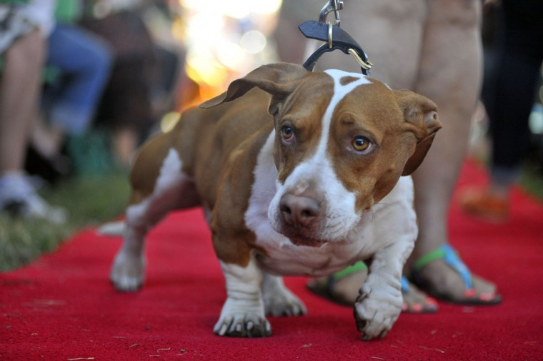 Tammie Barbee walks her dog Walle down the red carpet at the start of this year's World's Ugliest Dog competition in Petaluma, Calif., on Friday, June 21, 2013. (Josh Edelson/AFP/Getty Images)