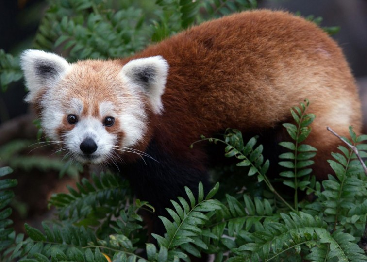 This photo courtesy of the Smithsonian National Zoo in Washington, DC shows Rusty, a red panda who went missing from the National Zoo in Washington on June 23. (Smithsonian National Zoo. via AFP/Getty Images)