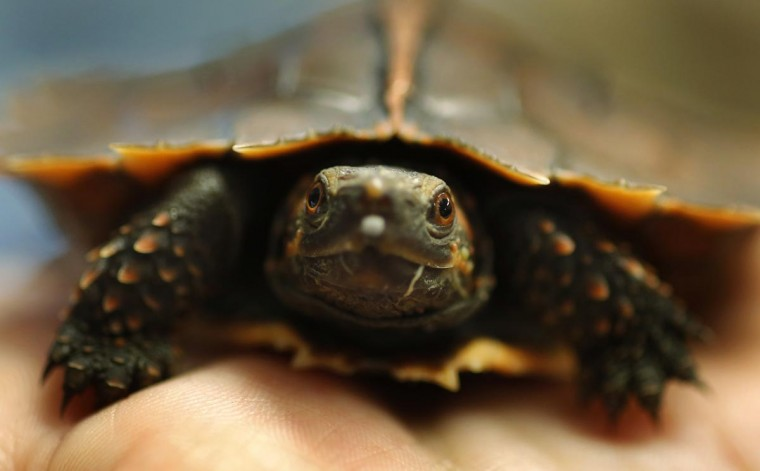 A keeper holds the first Spiny turtle to be bred in the UK in the turtle breeding room at Chester Zoo in Chester, northern England June 13, 2013. The turtle, who's species is faced with extinction in the wild, was bred from two animals confiscated from an illegal haul by wildlife authorities in Hong Kong. (Phil Noble/Reuters)