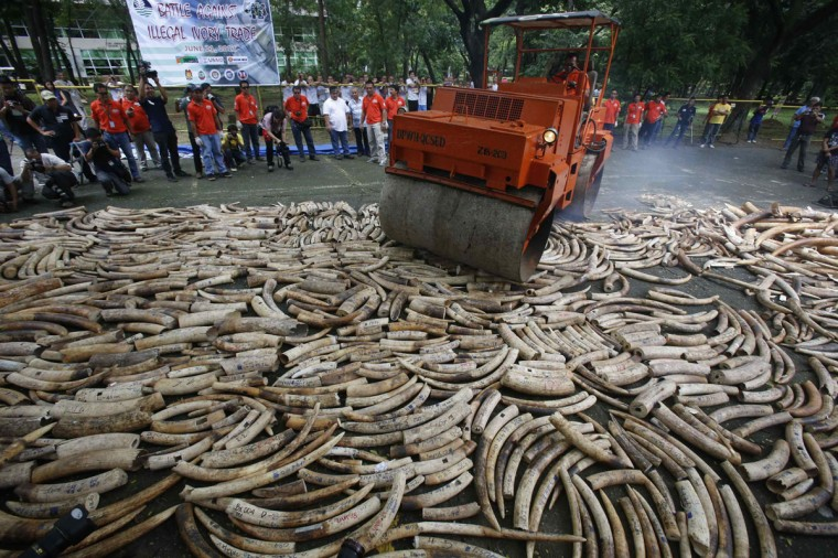 A road roller crushes smuggled elephant tusks, that had been confiscated, at the Parks and Wildlife center in Quezon City, Metro Manila. The Philippine government destroyed on Friday at least five tonnes of smuggled elephant tusks, making the Philippines the first country in Asia to conduct physical destruction of massive ivory stockpiles in support of government efforts to stamp out illegal wildlife trade, a statement from Department of Environment and Natural Resources said. (Erik De Castro/Reuters)
