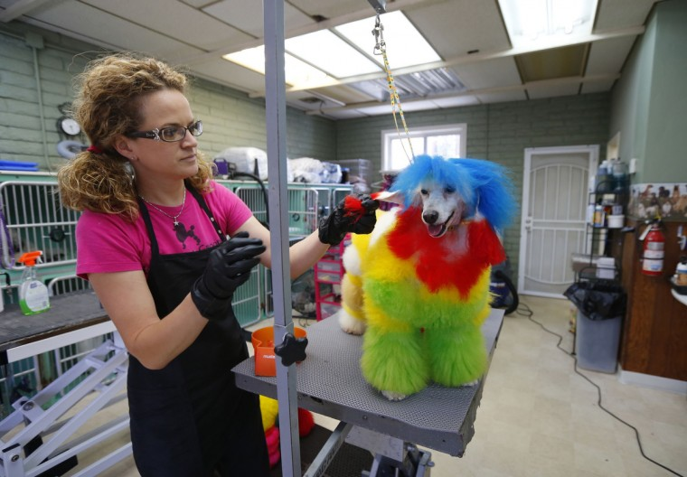 Southern California dog groomer Catherine Opson works on coloring her miniature poodle Porsche at her grooming salon in Capistrano Beach, California. (Mike Blake/Reuters)