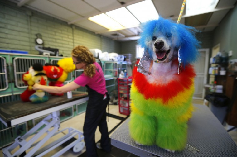 Southern California dog groomer Catherine Opson works on miniature poodle Kobe as her other poodle Porsche waits with a color treatment on its ears at her grooming salon in Capistrano Beach, California. (Mike Blake/Reuters)
