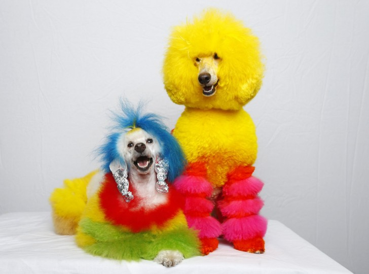 Miniature poodles Kobe (R) and Porsche pose for a picture at the grooming salon of owner Catherine Opson in Capistrano Beach, California. (Mike Blake/Reuters)
