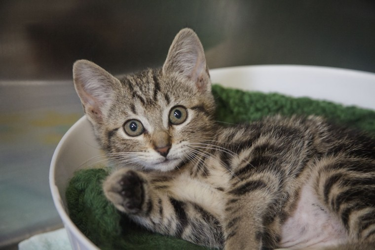 Orchid the Tabby Cat at the Maryland SPCA. (Credit: Scott Bradley)