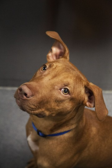 Cucumber the excitable Pit Bull mix at the Maryland SPCA. (Credit: Scott Bradley)