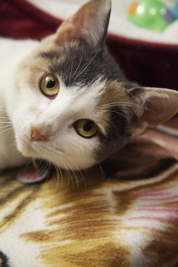 Rice the American Short Hair Calico at The Marlyand SPCA. (Credit: Scott Bradley)