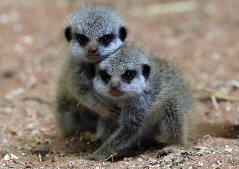 Two of the three recently arrived baby meercats, play together in their enclosure at Bristol Zoo Gardens in Bristol, England. The triplets, who were born on June 21 to mum Babushka, are currently too young to be sexed so are yet to be named and bring the number of meerkats homed at the Zoo up to eighteen. (Matt Cardy/Getty Images)
