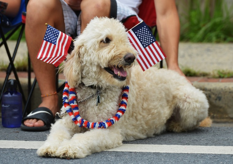 A dog watches the Independence Day parade in Takoma Park, Maryland on July 4, 2013. Independence Day celebrates the declaration of independence from Britain in 1776. (Mandel Ngan/Getty Images)