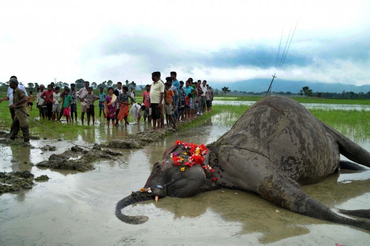 Indian villagers gather near the body of an elephant in a field near the village of Keribakori, Nagaon District some 140kms east of Guwahati, one of two found in a field by the villagers. It is believed that the elephants were electrocuted by power lines as they walked through fields of growing rice at night in the northeastern state of Assam. (Getty Images)