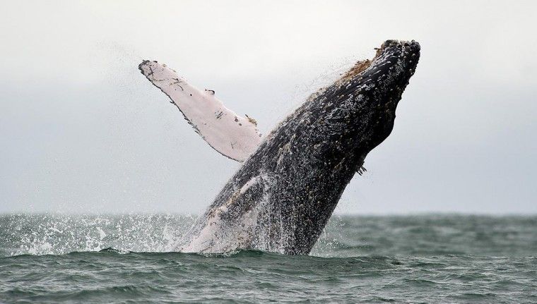A Humpback whale jumps in the surface of the Pacific Ocean at the Uramba Bahia Malaga natural park in Colombia, on July 16, 2013. Humpback whales migrate annually from the Antarctic Peninsula to peek into the Colombian Pacific Ocean coast, with an approximate distance of 8,500 km, to give birth and nurse their young. Humpback whales have a life cycle of 50 years or so and is about 18 meters. (Luis Robayo/AFP/Getty Images)