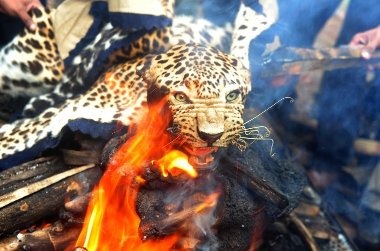 A leopard skin burns during an official burning of wildlife contraband, including tiger and leopard skins and bones, by forest officials in Mumbai. The tiger Indias national animal is disappearing from the country because of rampant poaching and widespread habitat destruction. There are an estimated 1,800 wild tigers in India today, down from approximately 100,000 in 1900. (Indranil Mukherjee/Getty Images)