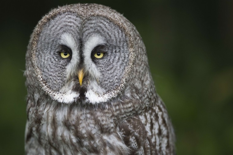 A great gray owl rests in the Rambouillet forest some 50 kms outside of Paris. (Joel Saget/Getty Images)