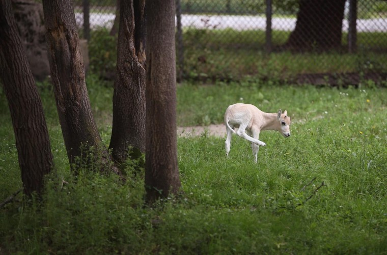 An addax calf, born June 7, roams the enclosure at Brookfield Zoo on July 2, 2013 in Brookfield, Illinois. About 200 of the nearly-extinct addax live in North American zoos, only about 300 still survive in the wild. (Scott Olson/Getty Images)