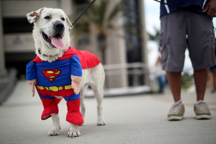 Beckham the dog sports a Superman costume during Comic Con on July 19, 2013 in San Diego, California. The Comic Con International Convention is the world's largest comic and entertainment event and hosts celebrity movie panels, a trade floor with comic book, science fiction and action film-related booths, as well as artist workshops and movie premieres. (Sandy Huffaker/Getty Images)