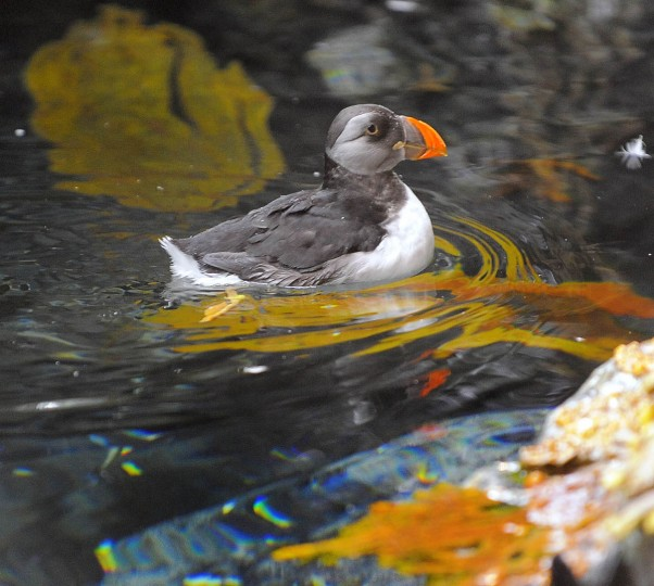 An Atlantic Puffin shakes water at the National Aquarium in Baltimore. (Credit: Karl Merton Ferron/Baltimore Sun)